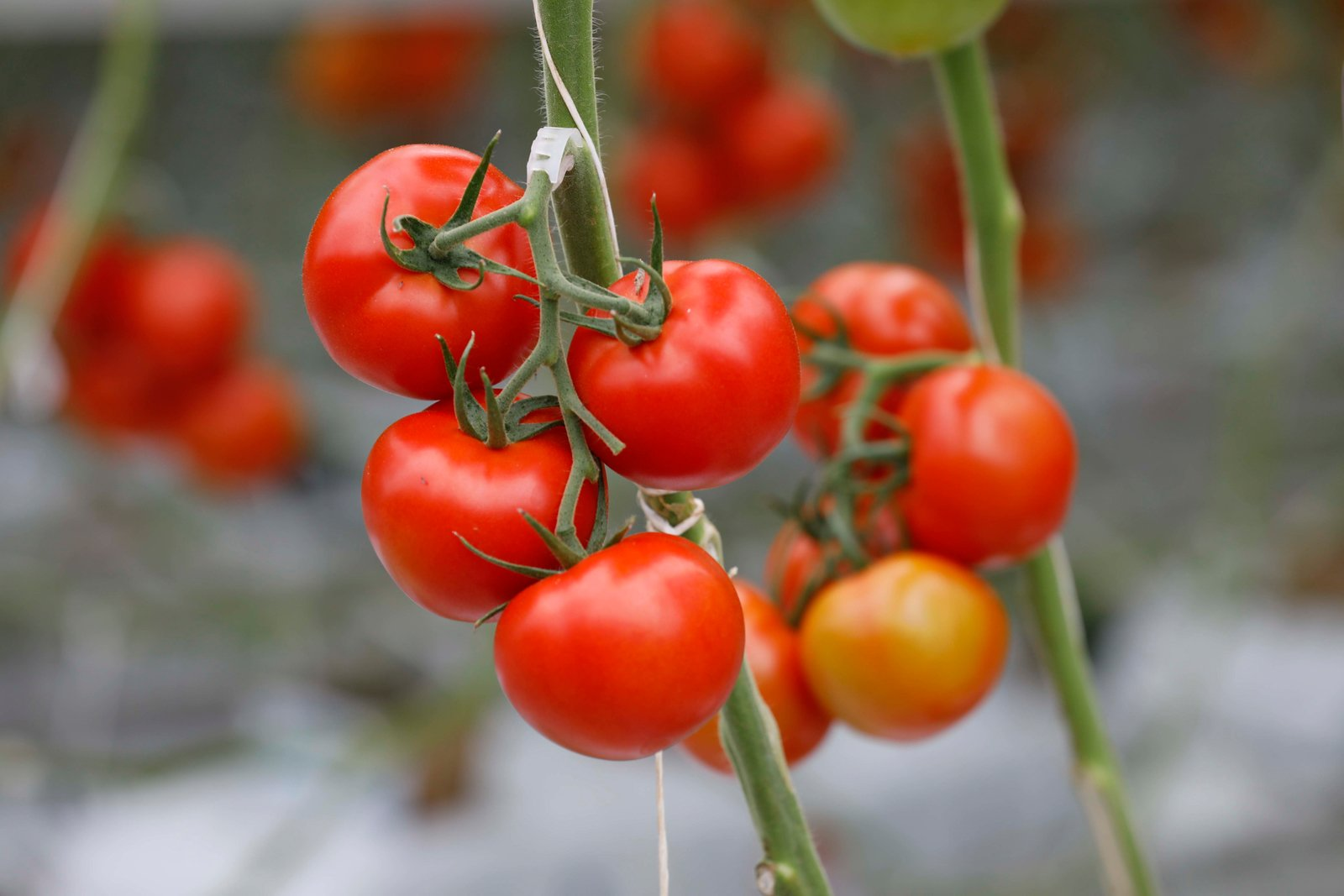 Optimal growing conditions for tomatoes | Netafim
